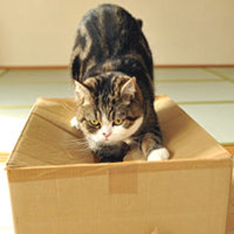 Determined Maru Tries to Get into Box