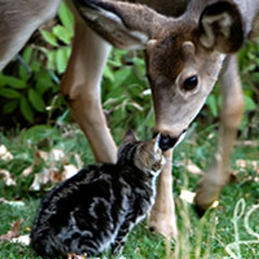 Cat Befriends Two Deer: Interspecies Love