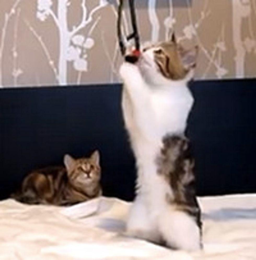 Kitties Play Like Meerkats
