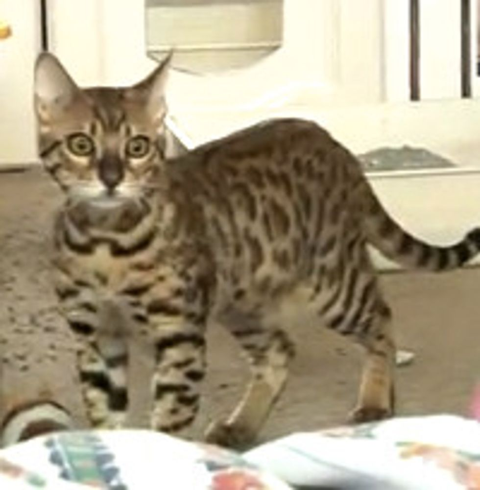 Rescue Bengal Kitten Introduction to Adult Cats
