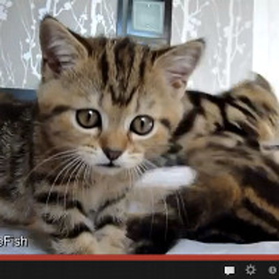 Kitten Wrestlers