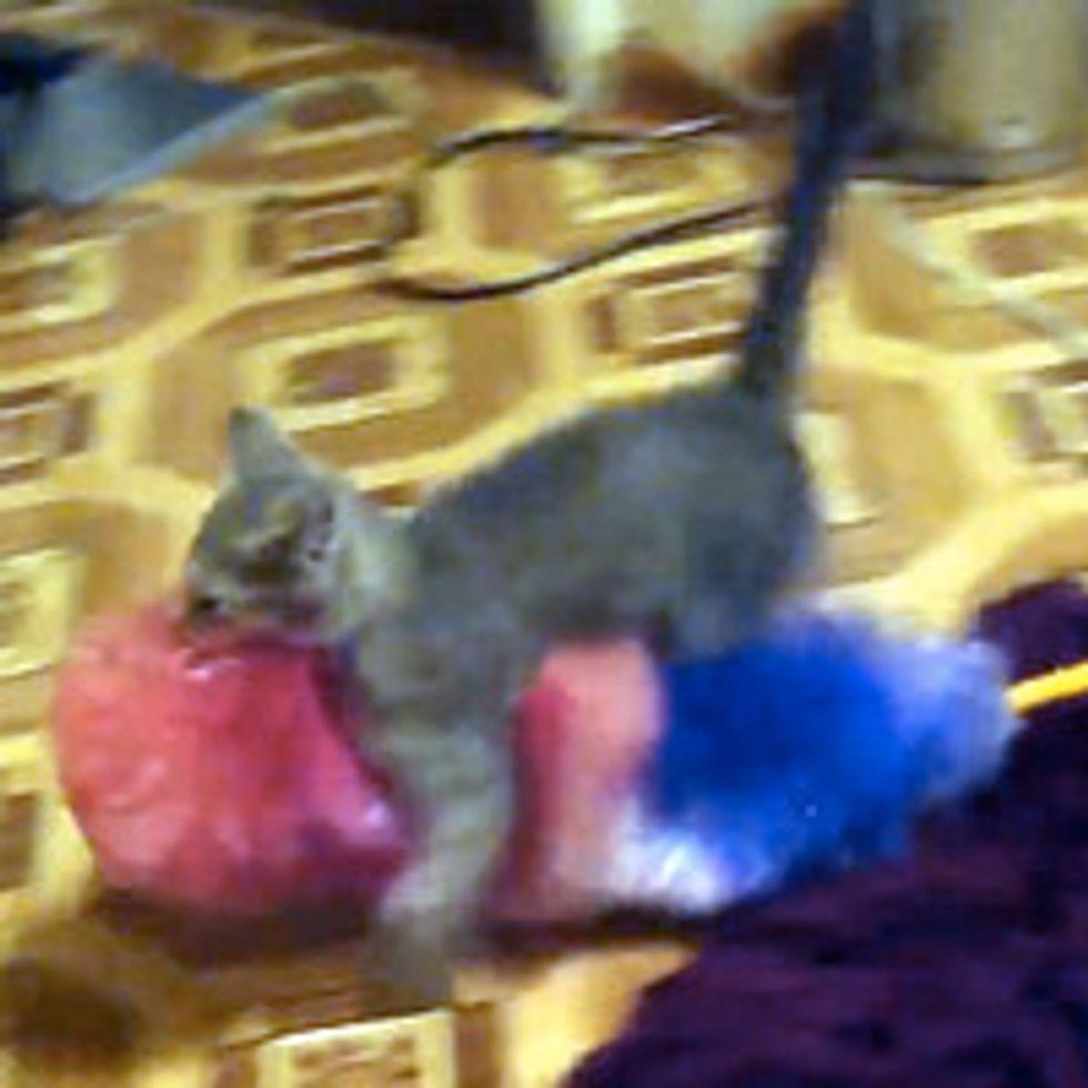 Kitten Catches His 'Prey'