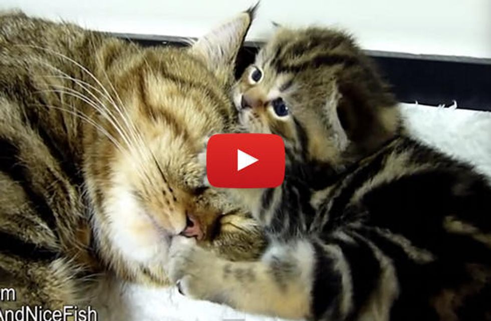 Adorable Moments Of Mom Cat and Rosy the Kitten