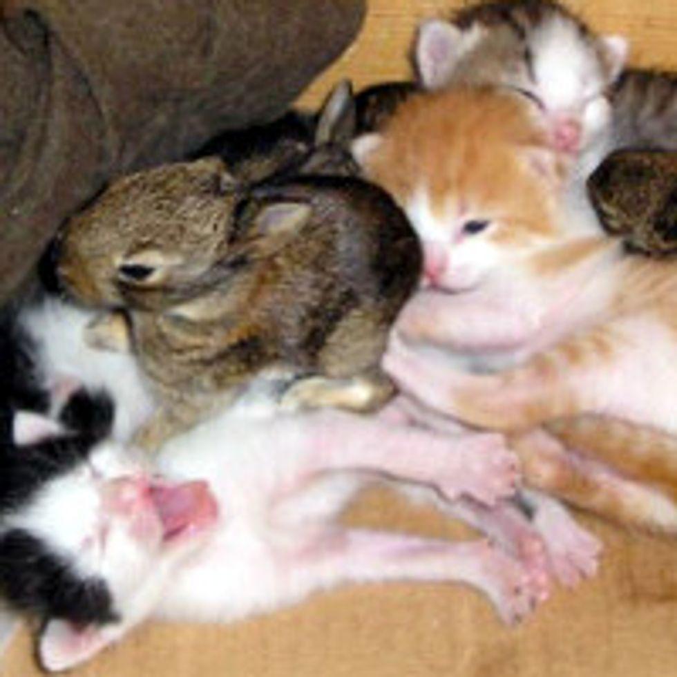 Mom Cat Adopts Orphan Bunnies