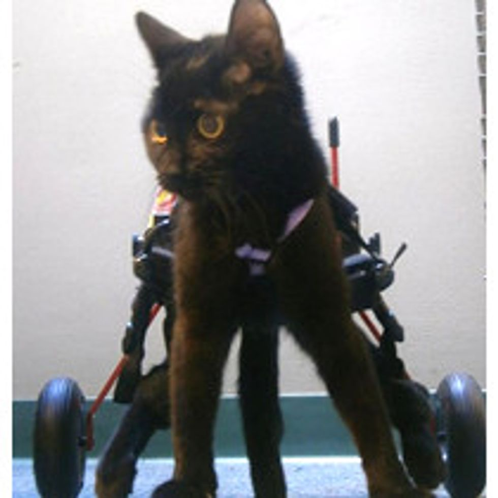 Violet The Kitty Gets A Second Chance To Walk Again