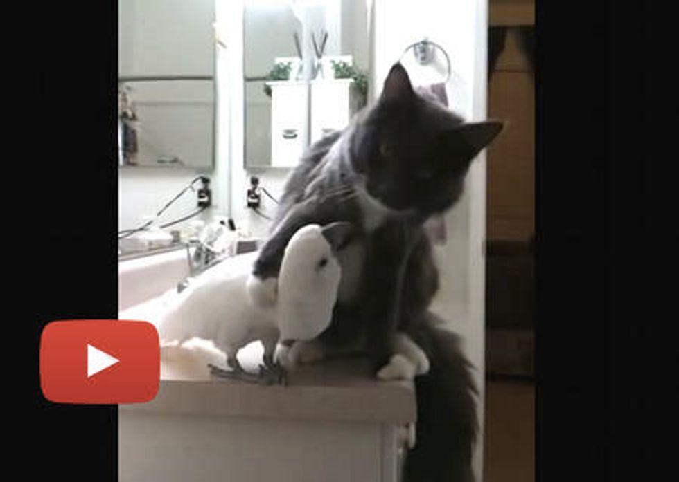 Maine Coon Cat & Cockatoo Buddies