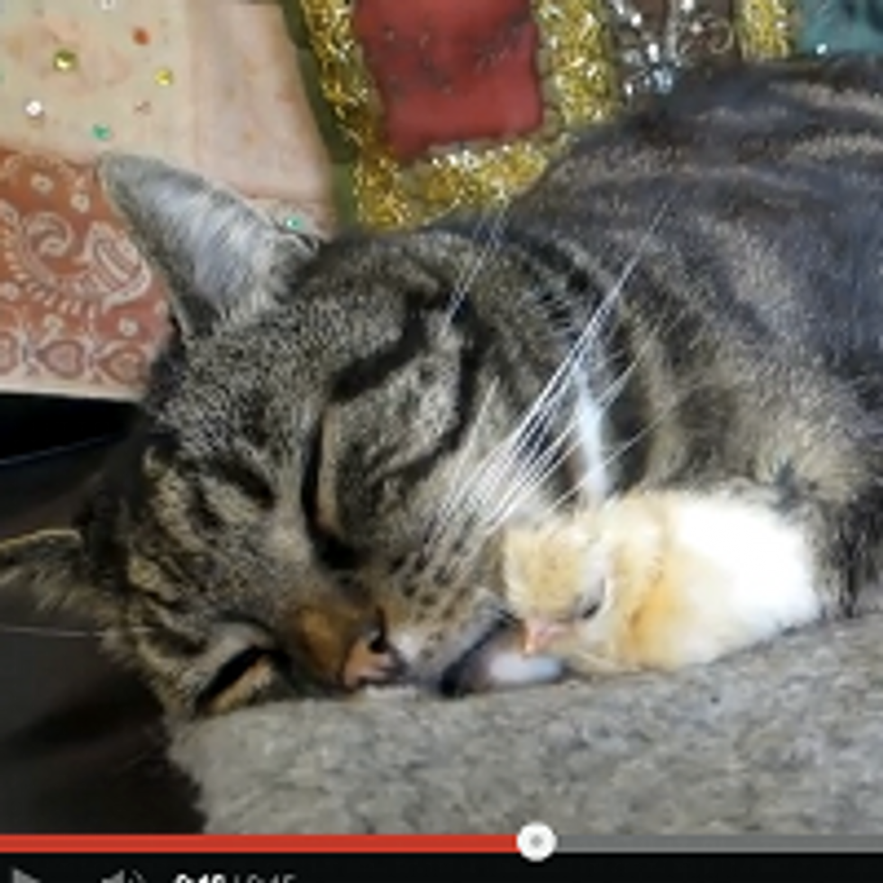 Oscar the Cat: Chick Magnet