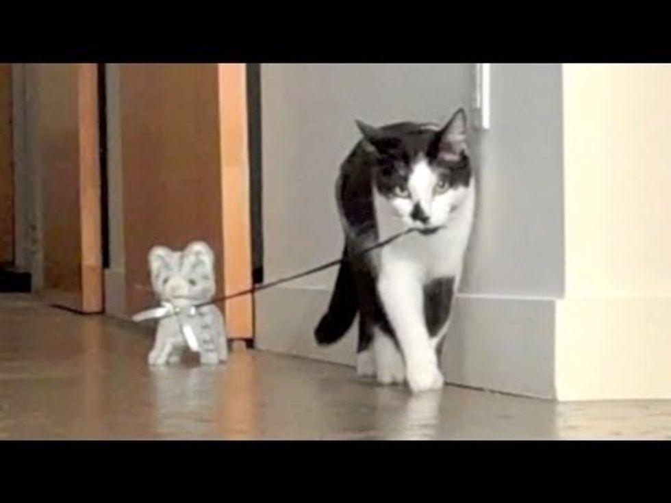 Kodi the Cat Walks The Kitten