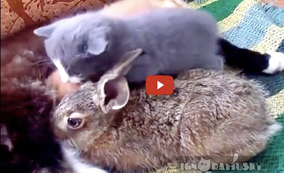 Cat Family Adopts an Orphan Rabbit. Sweetest Thing!