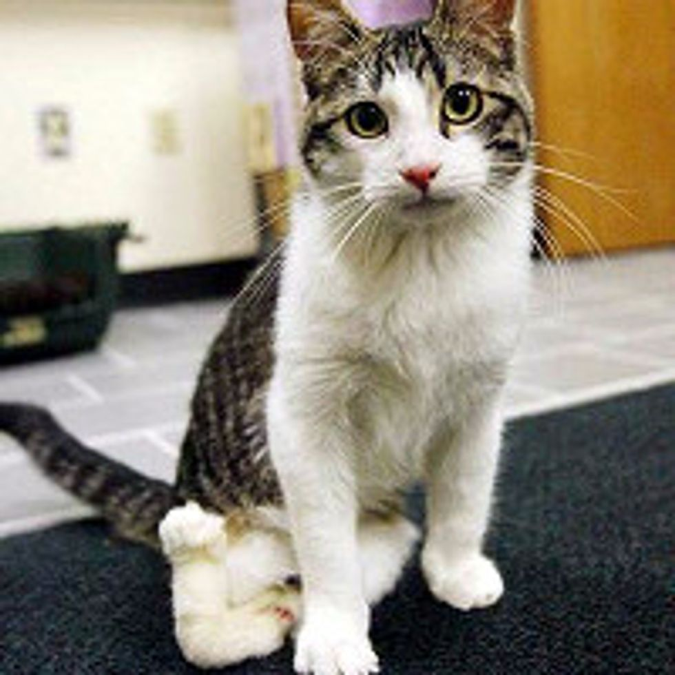 Corky The Cat Born With Twisted Legs: Inspiration of Courage, Love & Determination