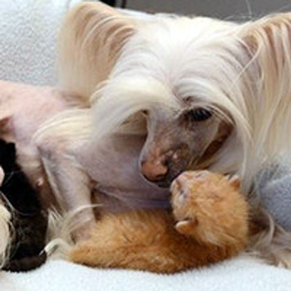 Dog Adopts 5-day-old Orphan Kittens