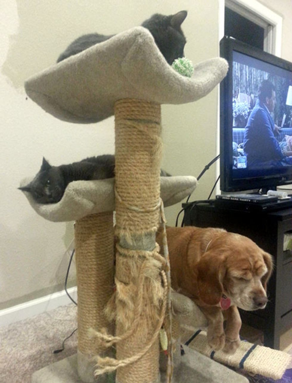 Cats Share Cat Tower With Dog