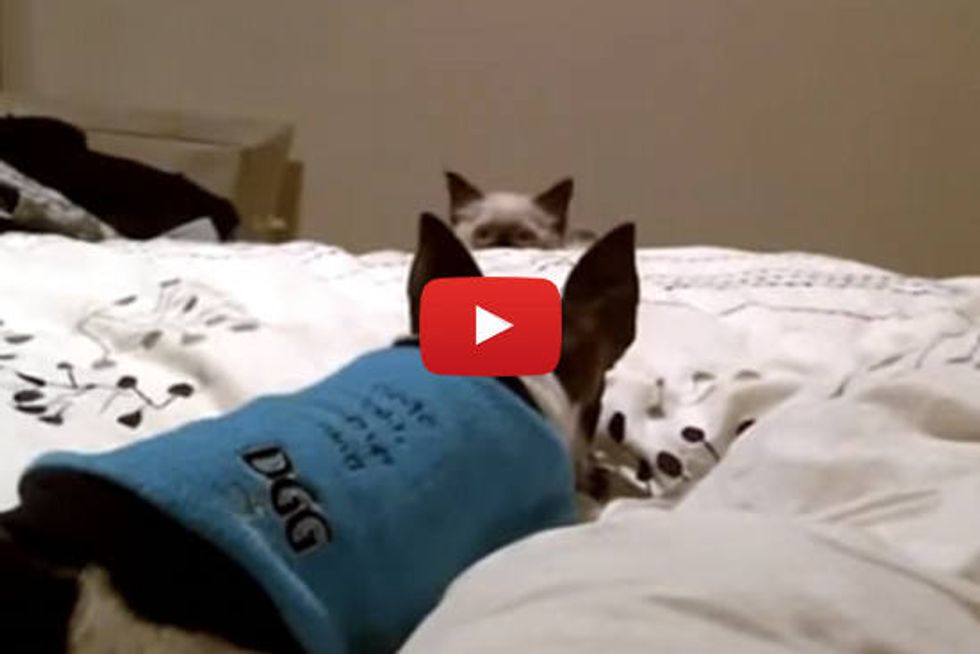 Kitten Ambushing Dog! The Fun is Endless!