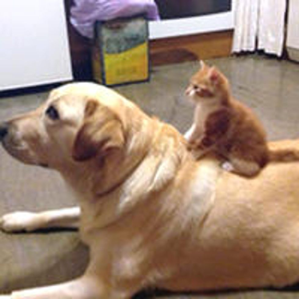 Tiny Kitten And Her Big Dog