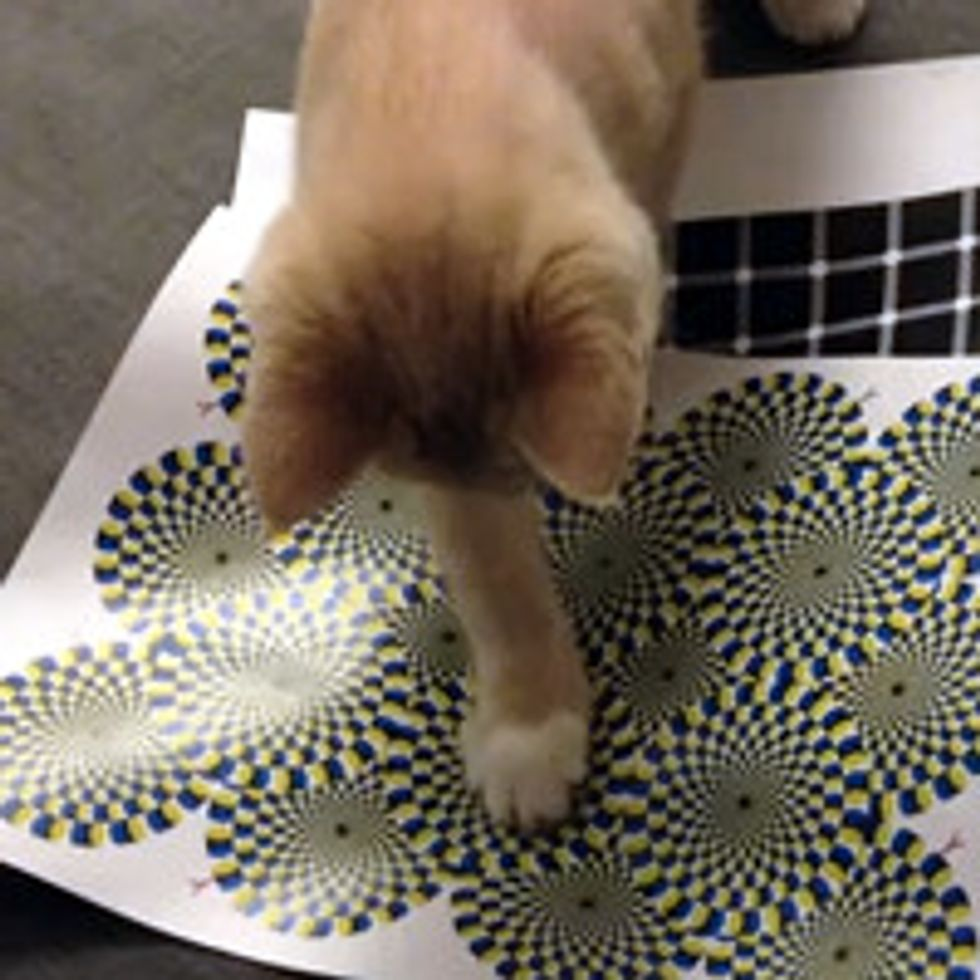 Cat Can See The Rotating Snake Illusion!