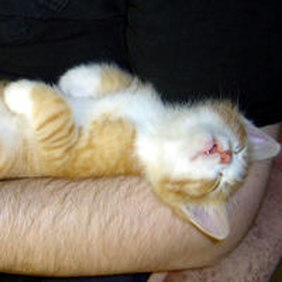 Kitty Passes Out After Bottle Feeding