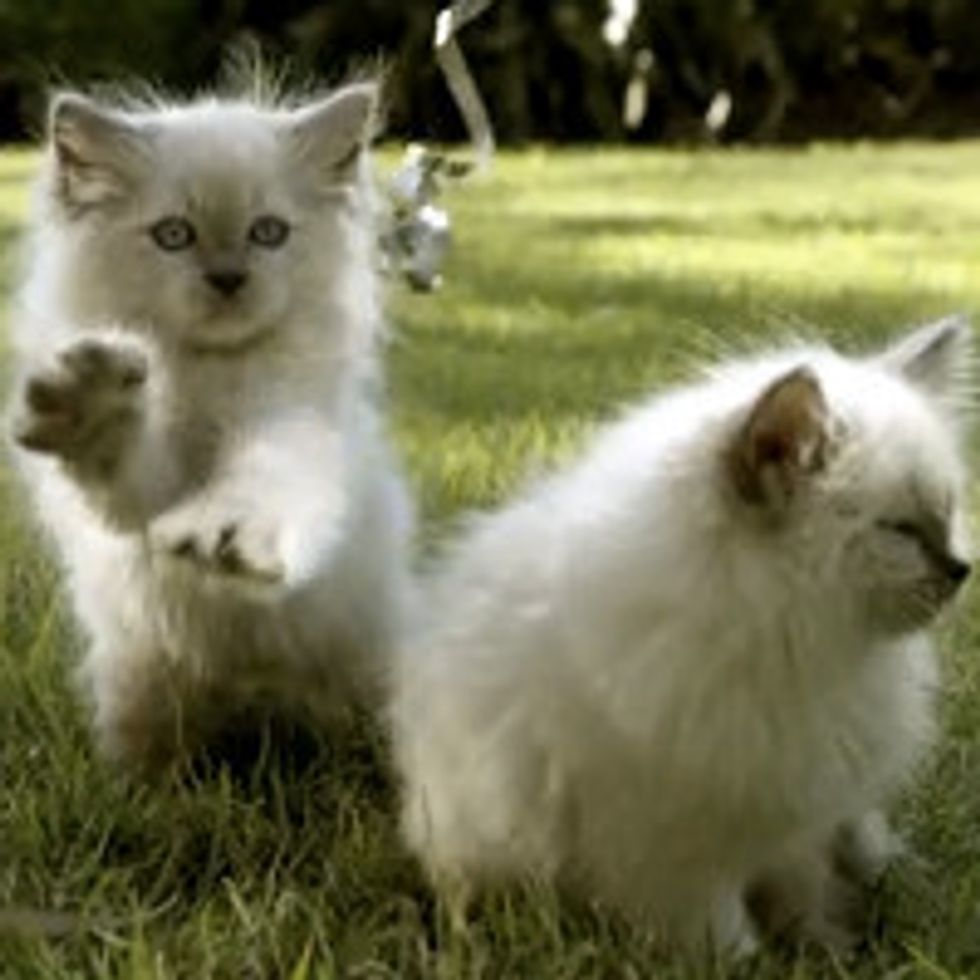 Adorable Fluffy Kittens Playing In The Grass