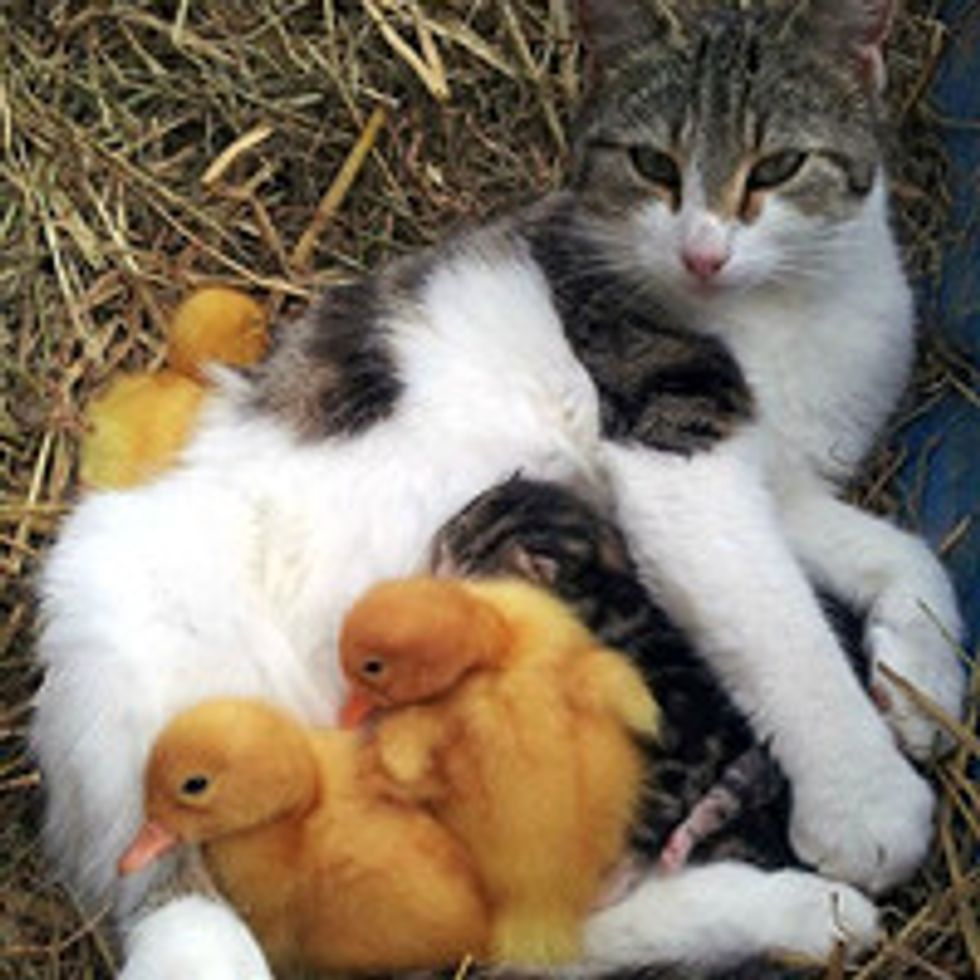 Cat Adopts Orphaned Ducklings With Her Litter Of Kittens