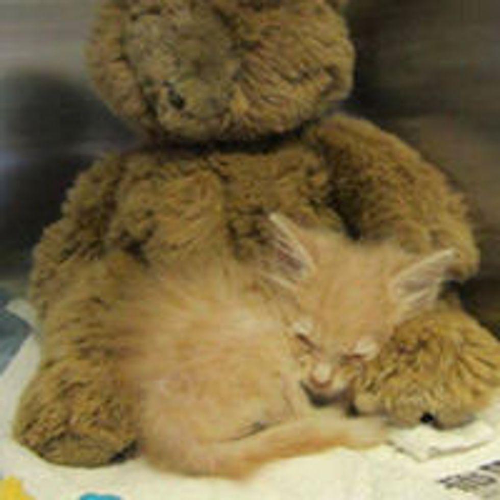Tiny Ginger Kitty - OK Tornado Survivor