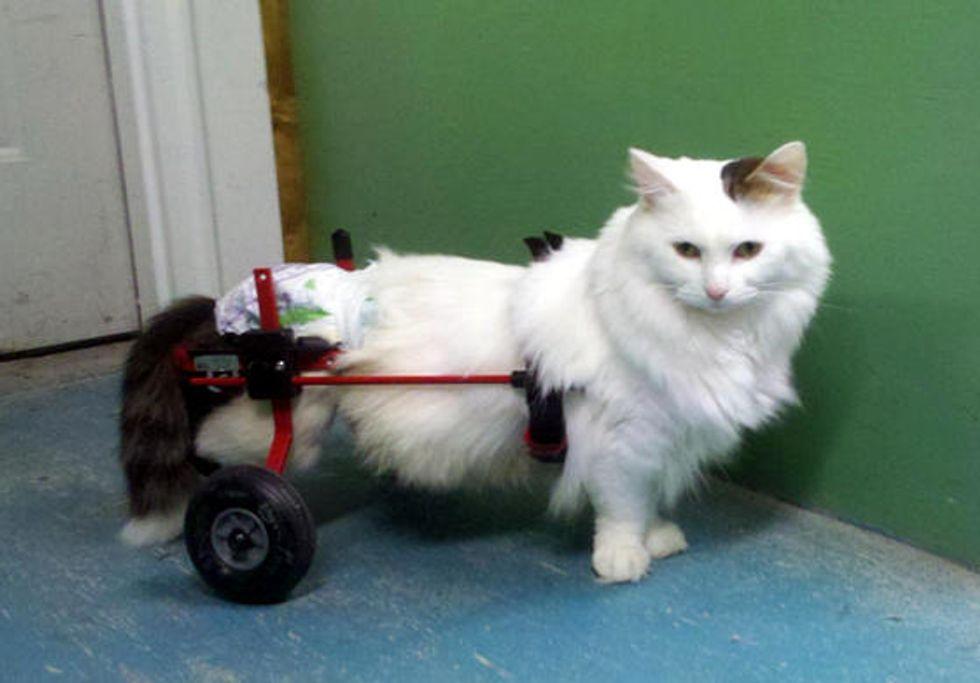 Smoochie Paraplegic Cat Doesn't Let Her Disability Define Her