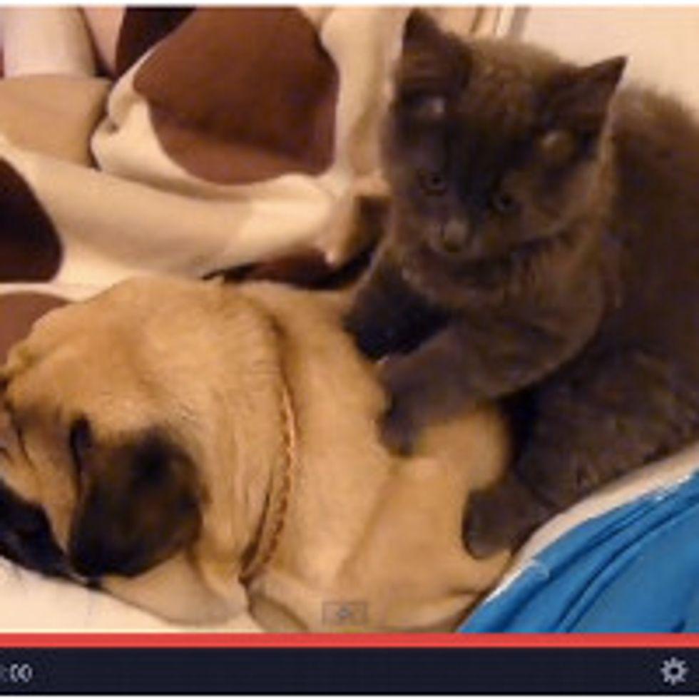 Kitty Gives Pug A Massage