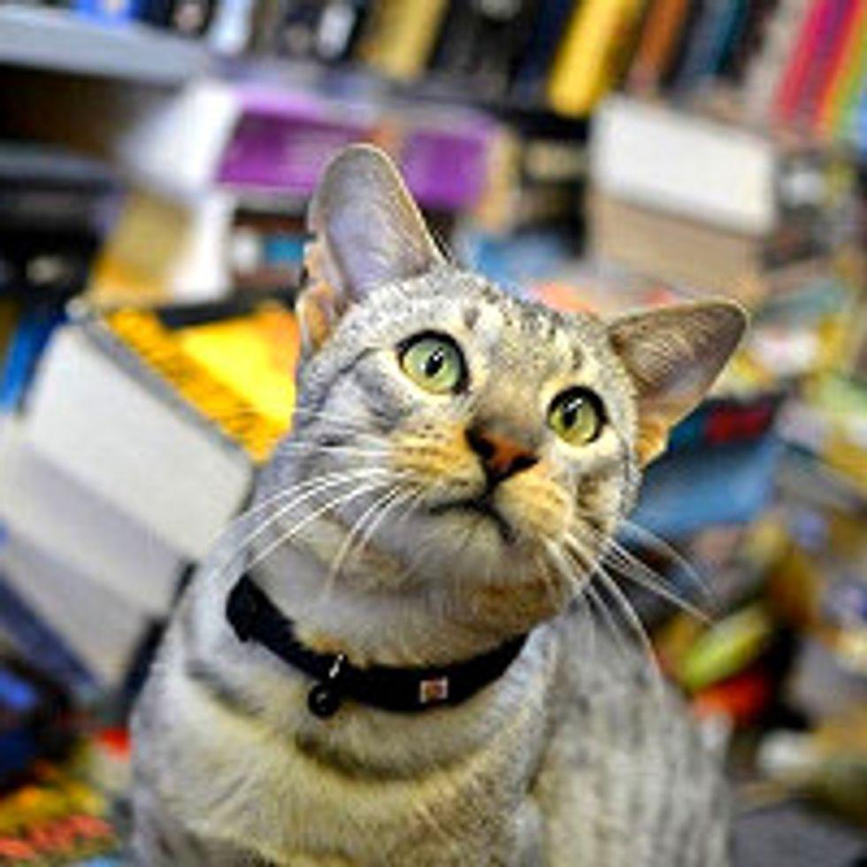 Dodger The Bookstore Cat