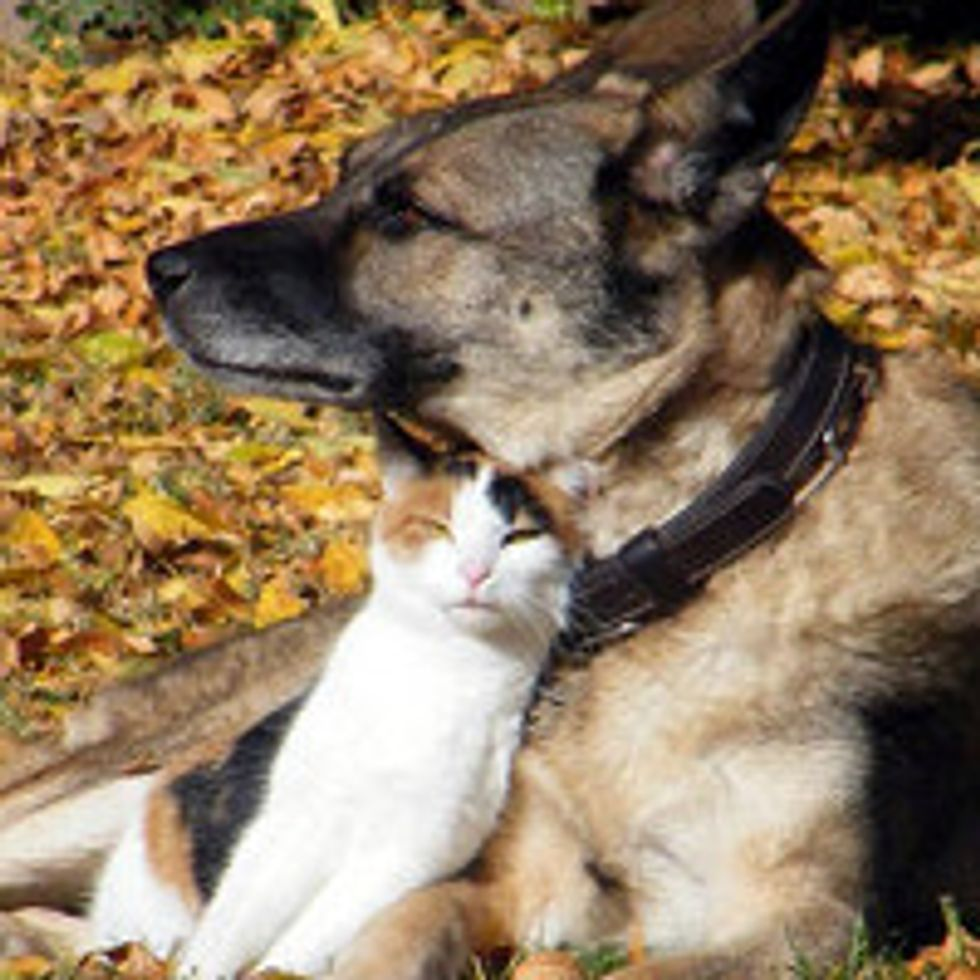 Calico Cat And Her Personal Guard Dog