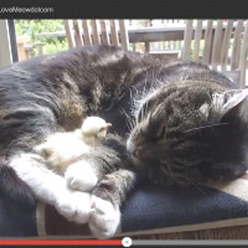 Chick Sleeps On Cat