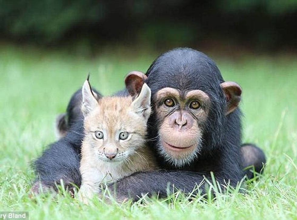 Wildcat Lynx and Chimpanzee Become Best Of Friends