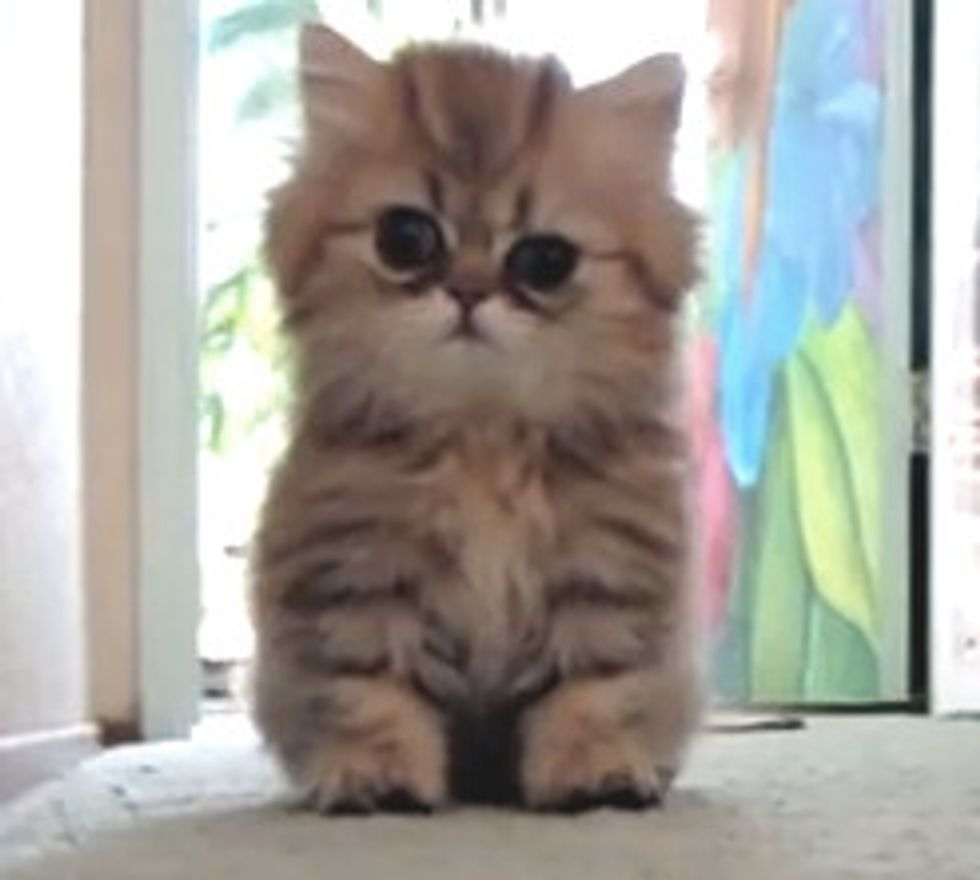 Playful Persian Kitten: Cute Attack!