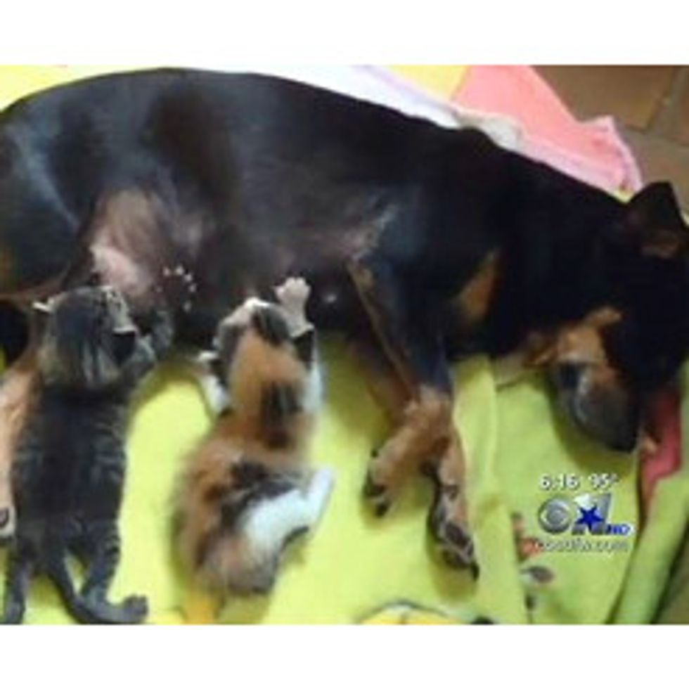 Shelter Finds Abandoned Chihuahua Nursing Her Adopted Kittens