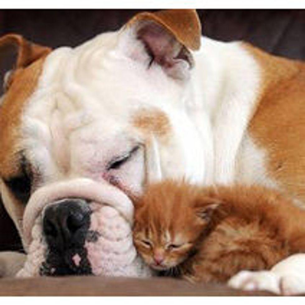 Orphaned Kitten Adopted By Bulldog