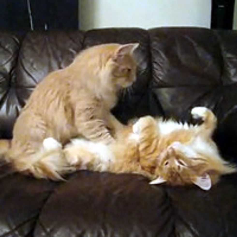 Vinski the Cat Gives His Brother A Tummy Rub