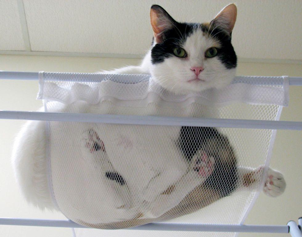 The Hammock Cat