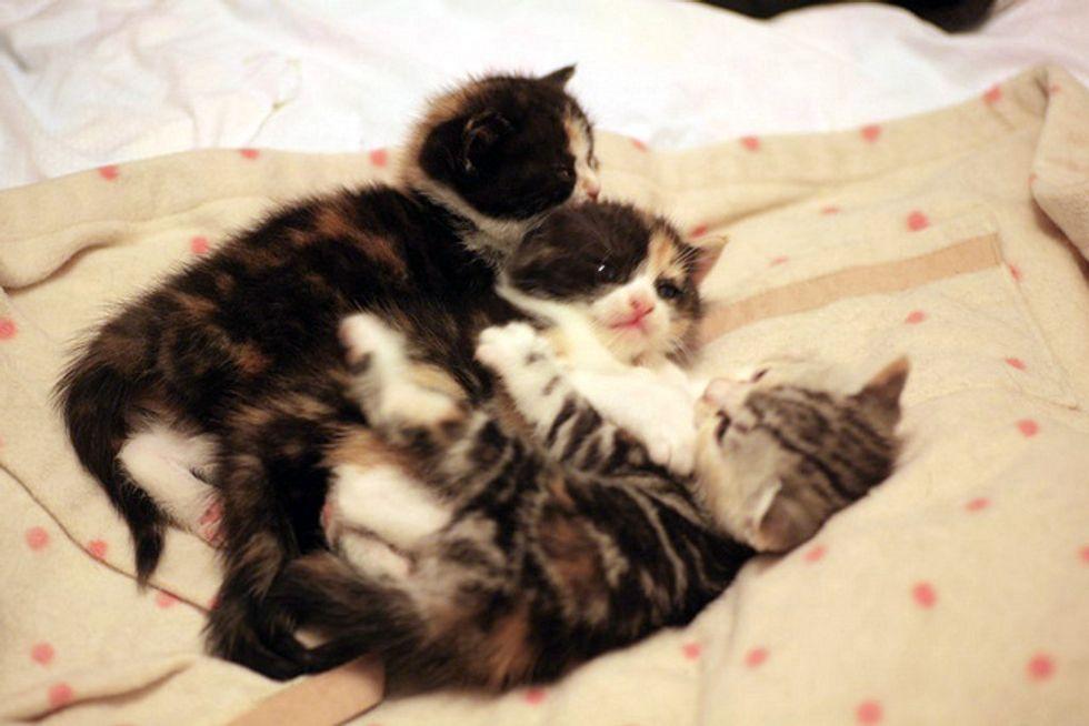 Three Fuzzy Calico Sisters