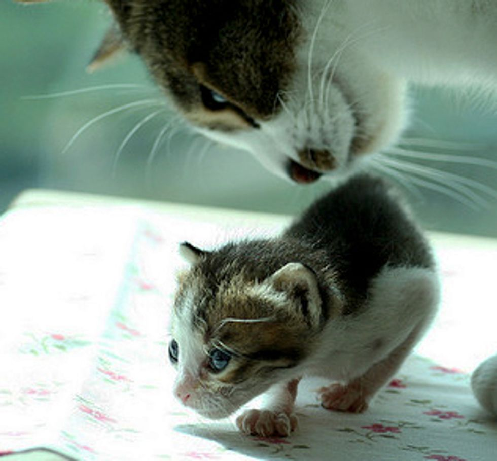 Surrogate Cat Father and Orphaned Kittens
