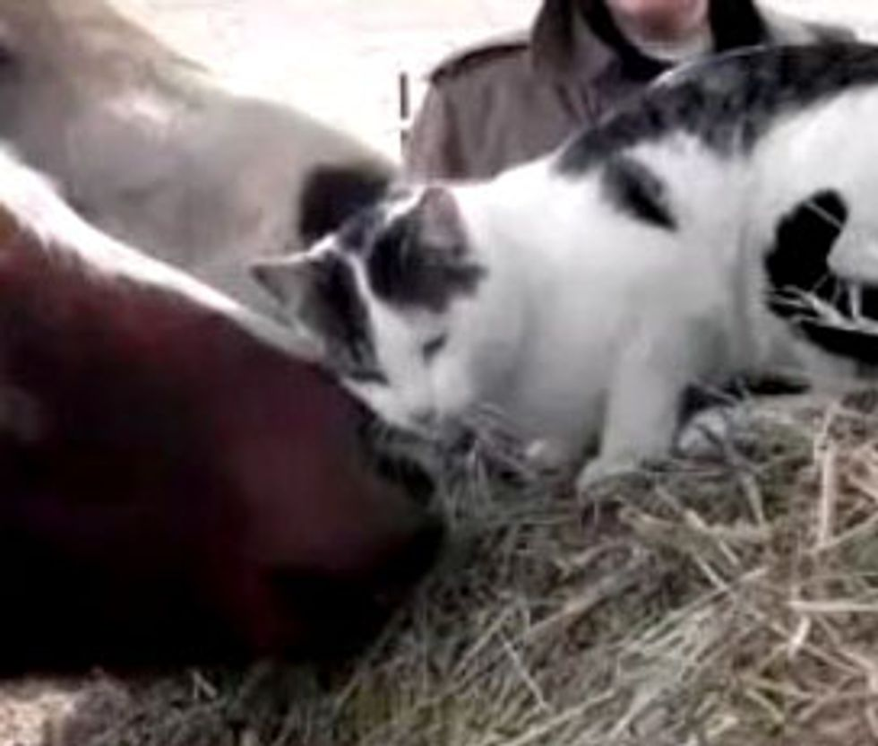 Cat Loves to Get Scritches from Pony