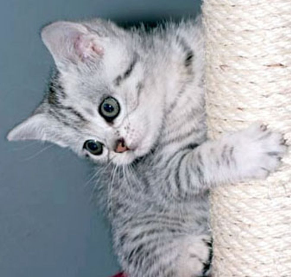 Little Kitty Princess Praline