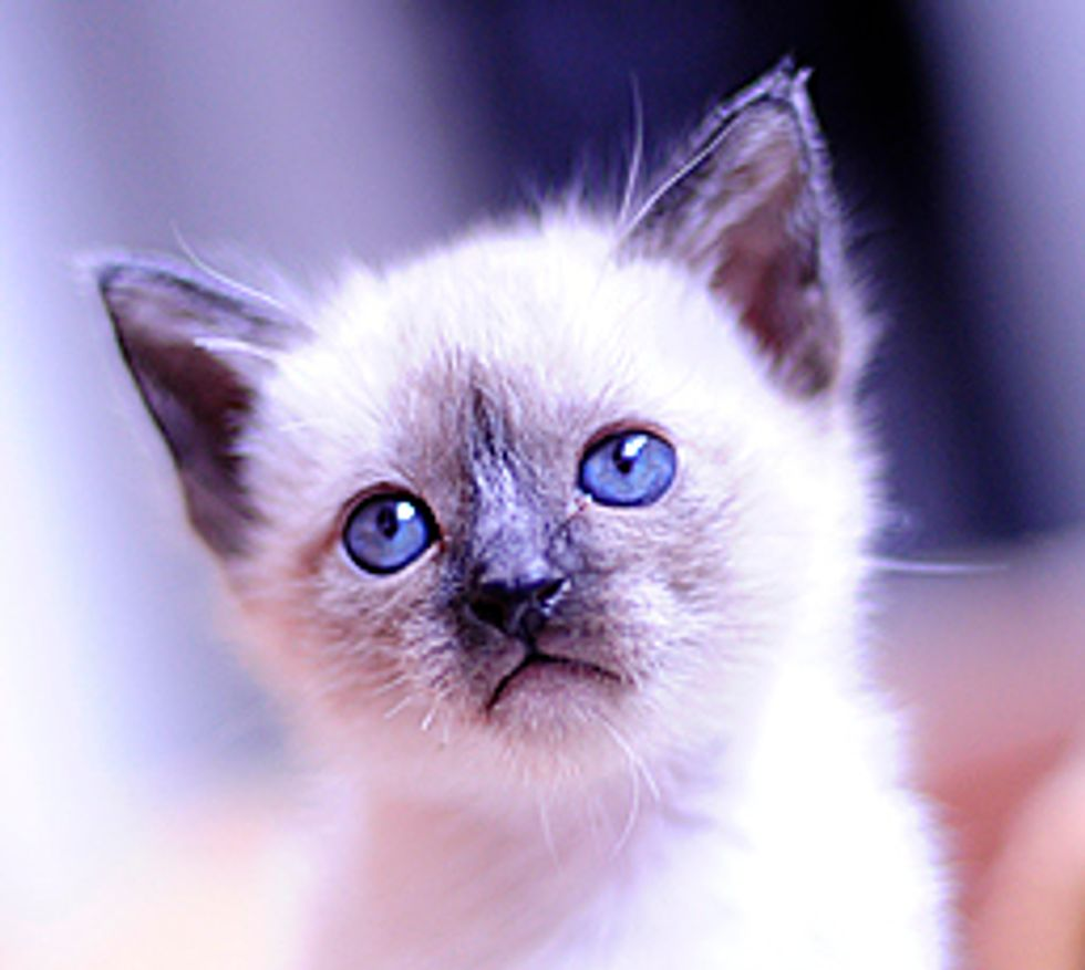 Story of a Siamese Kitty, Li