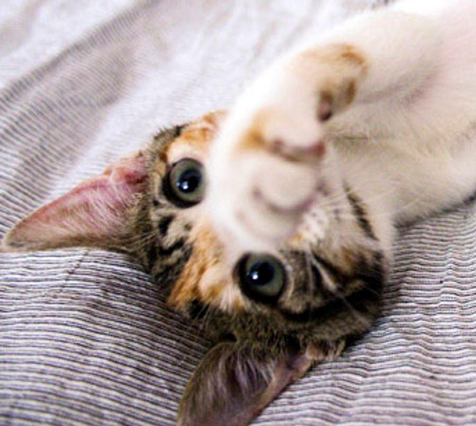 Mini the Calico Kitten Found in the Rain