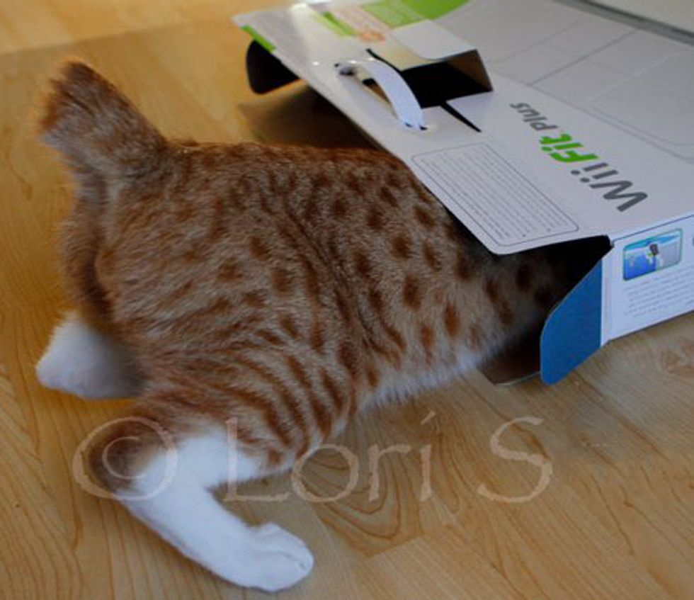City the Kitty Squishes into His Box