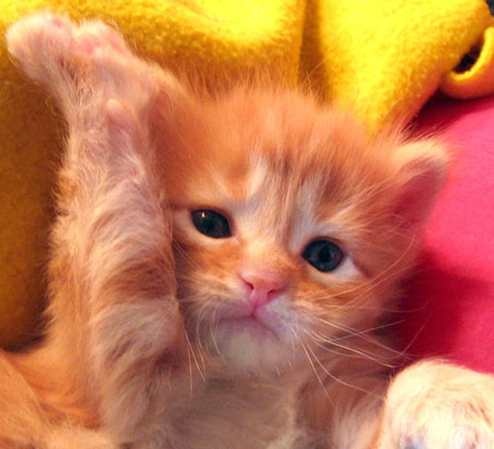 Zippy the Ginger Maneki Neko