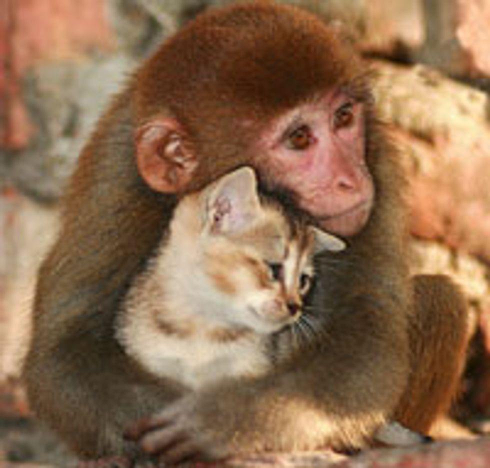 Friendship: Monkey Cuddles Kitten