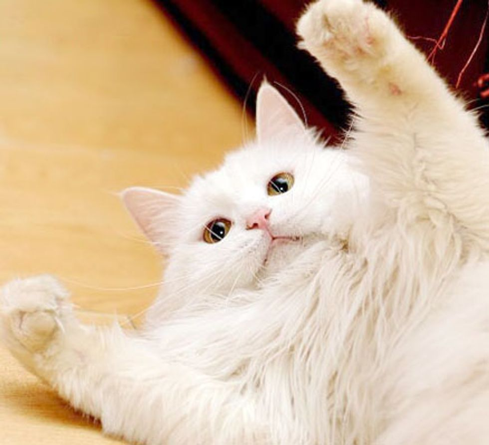 Ling the White Fluffy Lady Cat