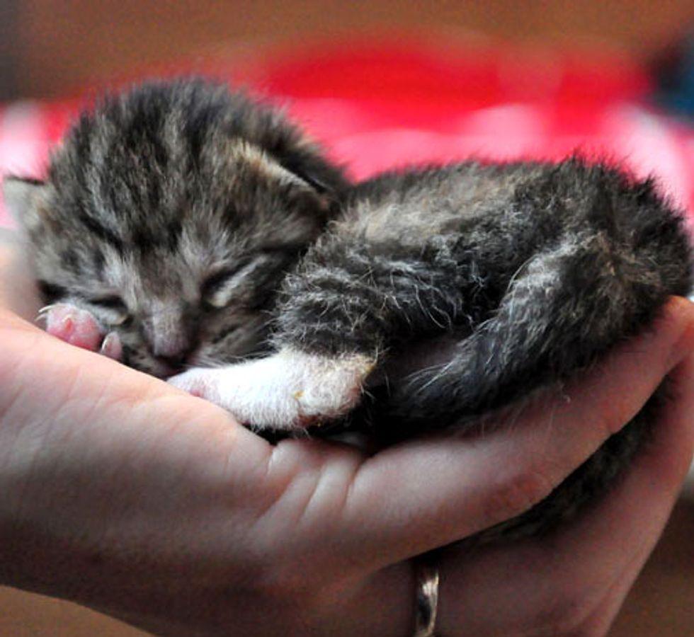 Hubble the Little Foster Kitten