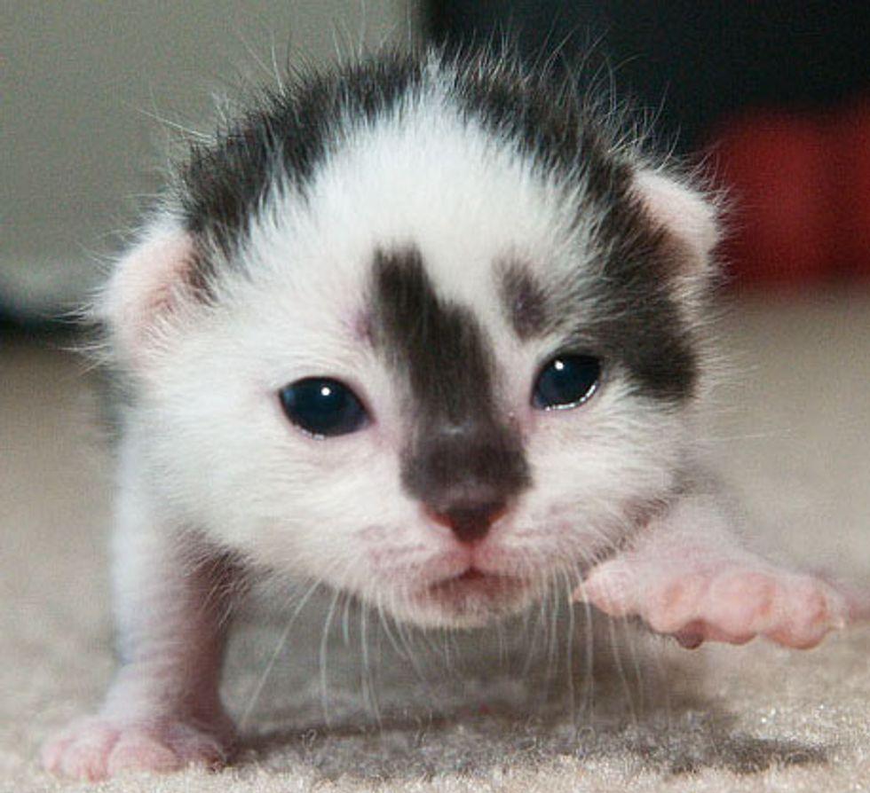 Little Blessed Cow Kitten