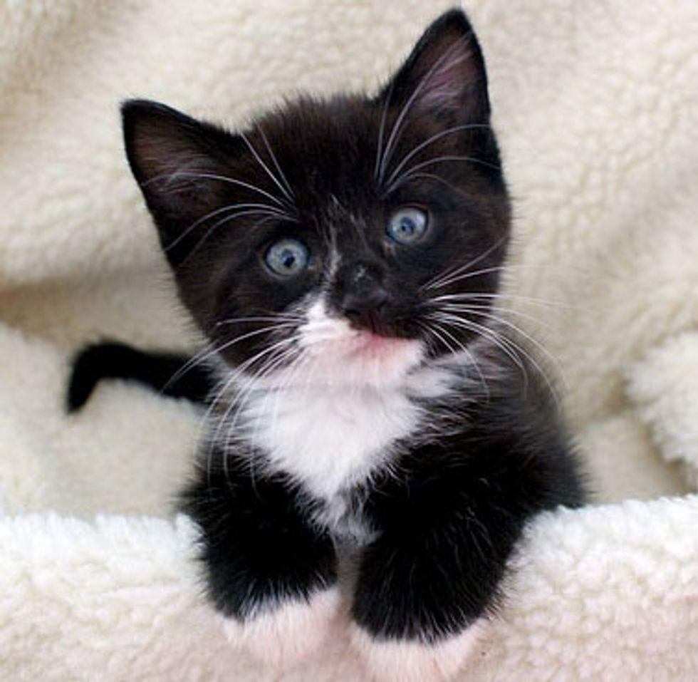 Max the Little Tuxedo Rascal