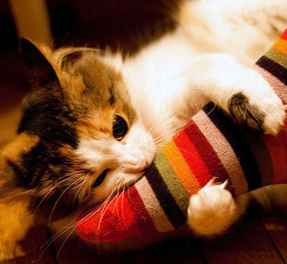 Spoiled Fluffy Kitty Sonya
