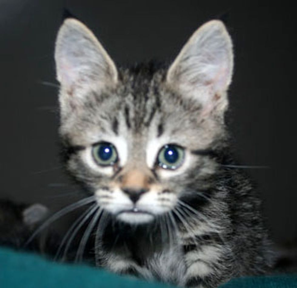 Winston the Lovable Foster Tabby