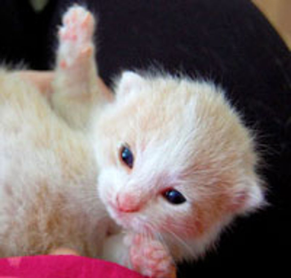 Snugglemuffin the Little Cream Kitty